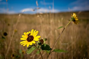 Colorado Sunflower
